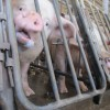 Moore County pig farm fire catalyst in call for tougher rules