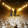 NC chicken farmer fights Perdue on treatment of animals