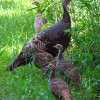 Kreh: Why not open wild turkey season earlier?