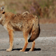 Coexist with coyotes