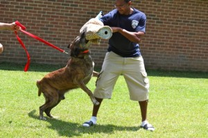 Kevin Spradlin   PeeDeePost.com Sgt. Glen Harris holds on to Breston and the K-9 officer goes after Officer J.A. Gilbert, who plays the role of the suspect during a Junior Police Academy demonstration.
