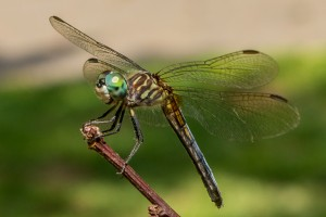 Dragonfly photo by John Shaw, of Hamlet.