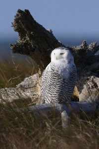 """Snowy Owl"" by Colin Knight, of Rock Hill, S.C, placed third in Birds."