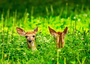 """Twin Fawns"" by Neva Scheve ,of West End, placed second in the Mammals category."