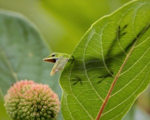 """American Anole"" by Ed Ziegler, of Raleigh. Ziegler's photo placed third in the Reptiles and Amphibians category."