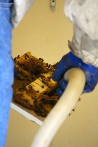 Kevin Spradlin | PeeDeePost.com Odel Covington vacuums bees off the honeycomb. The bees are deposited into a bucket to be transferred to another hive.