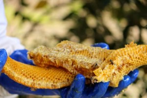 Kevin Spradlin | PeeDeePost.com Bill Honeycutt's work gloves hold the honeycomb, dripping with honey. The white spots indicate larvae and another bee saved. A queen bee can lay up to 5,000 eggs per day.