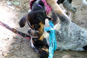 Kevin Spradlin | PeeDeePost.com These are two of the seven blue tick coonhound pups whose future were uncertain as recently as last week.