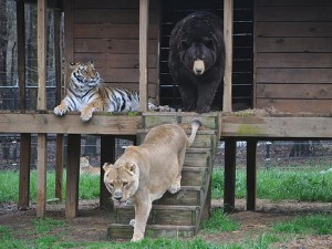 A Noah's Ark photo BLT — Baloo, Leo and Shere Khan — were rescued from the basement of an Atlanta drug house when the animals were only a few months old. They have bonded and share the same enclosure in the 250-acre sanctuary.